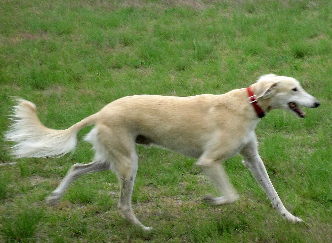 Gavilan is a blonde longer haired mix of Saluki and Greyhound.  He is trotting in a grassy field with a flowing tail.