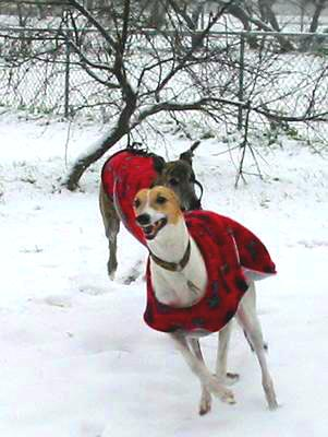 Two Greyhounds running in the snow, each wearing red coats.