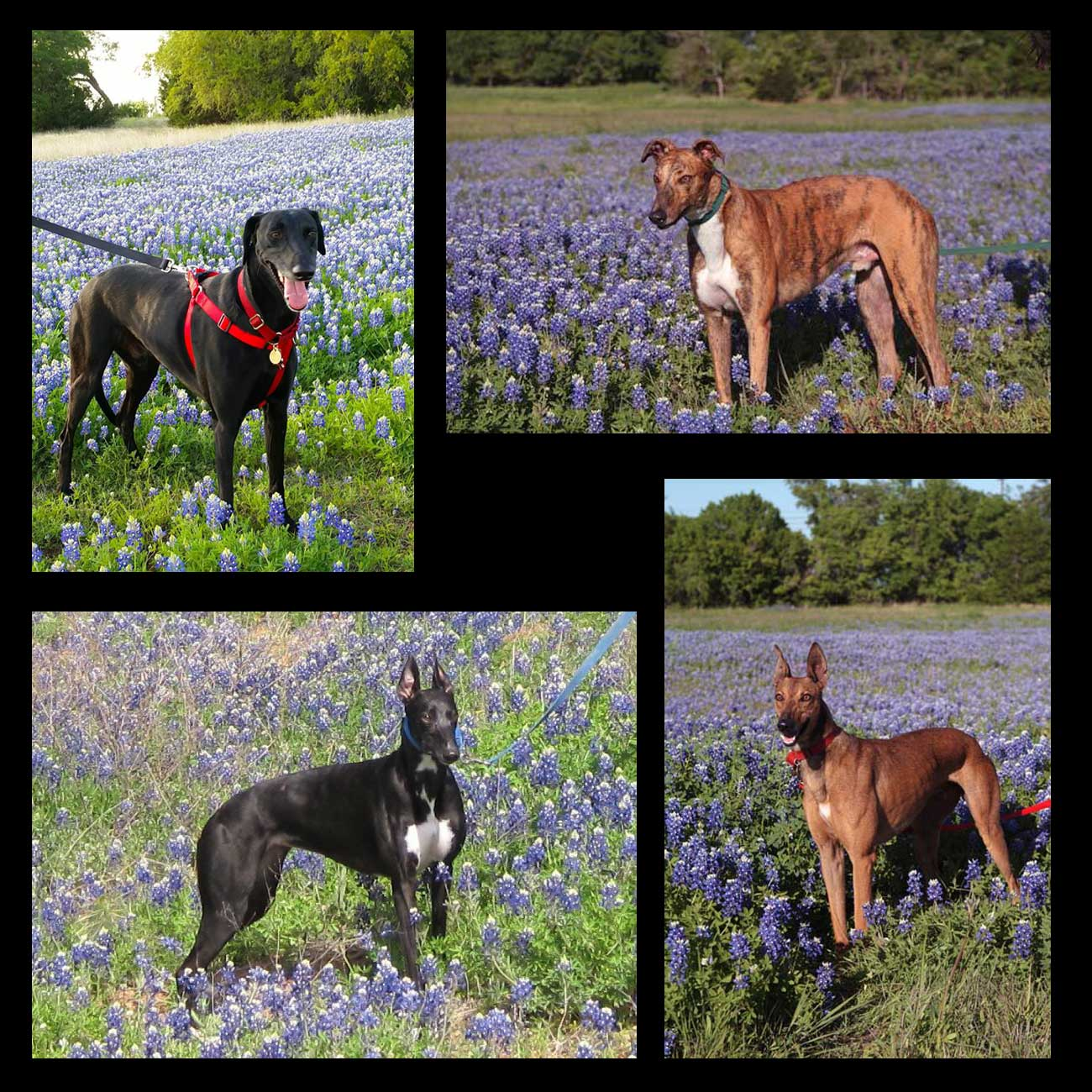 Group of four images. Each of a different greyhound standing in bluebonnets in sunshine.