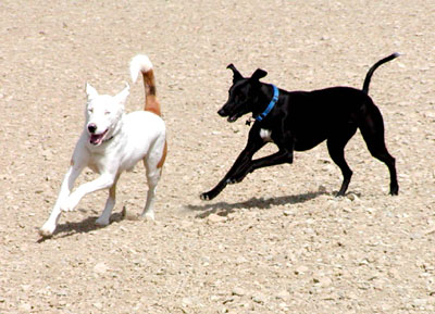 The black Greyhound, Razzmatazz, chases her white shepherd friend, Jack.