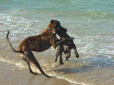 Rio, the brindle Greyhound, romping in the surf with his black Lab cross friend, Bambi.