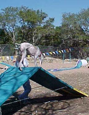 Giselle, a white and fawn Greyhound, walks over the A-Frame on an agility course.