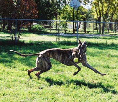 Lindsay, brindle Greyhound, romping with her ball