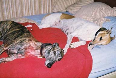 Lila, red and white Greyhound, and Lindsay, brindle Greyhound, lolling on their humans' bed.