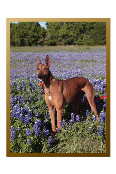image of Greyhound in blue bonnets