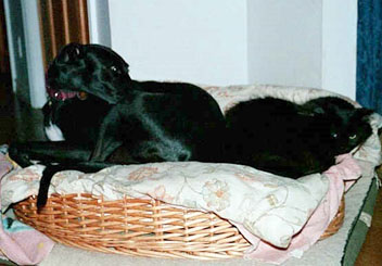Gia, a black Greyhound curled up in a bed with her black cat friend, Gary.