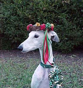 Giselle, fawn and white spotted Greyhound, looking regal, wearing a colorful Christmas wreath on her head. The wreath has red and green ribbons and balls.