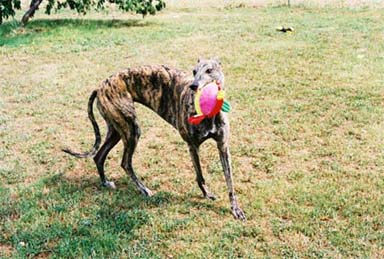 The gorgeous brindle Greyhound, Lindsay, romps with her stuffie (stuffed animal).