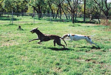 Lila, red and white Greyhound, and Lindsay, brindle Greyhound, racing in the backyard.