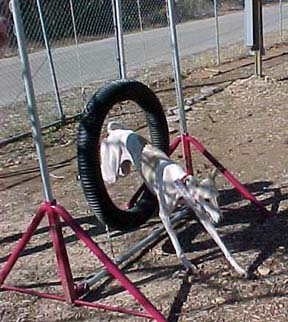 Giselle, a white and fawn Greyhound, jumps through a tire on an agility course.