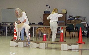 Charlotte helps her white and fawn spotted Greyhound, Giselle, walking an elevated plank / Dog Walk in TTouch Class.  In the background a brindle greyhound is doing a weaving exercise with cones.