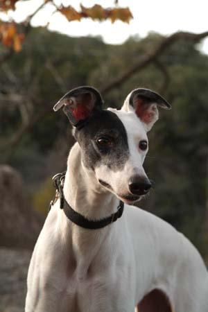 Greyhound Rescue Austin
